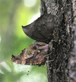 Question Mark and Tropical Leafwing