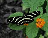 Zebra Helliconian