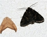 Arched Hooktip, Drepana arcuata, Disparaged Arches Moth, right