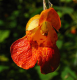 orange jewel weed