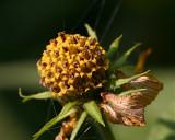 sun flower seed head