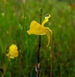 Hornd Bladderwort