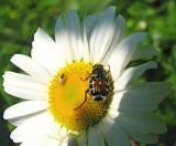 beetle? sp on daisy