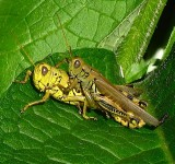 Grasshopper pair