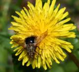 Dandelion bee fly