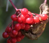Viburnum triloba berries