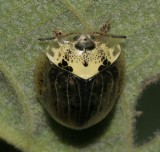 Beetle sp NABA