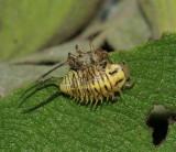 Beetle larva NABA