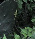 Lizard Texas