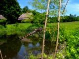 Beaverpond Baskettail