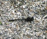 Beaverpond Clubtail