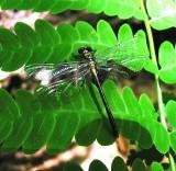 Pygmy-Clubtail sp