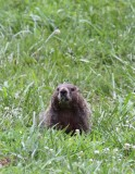 Groundhog 001