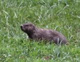Groundhog 002