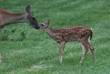 White Tail Deer 001