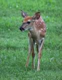 White Tail Deer 008