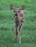White Tail Deer 009