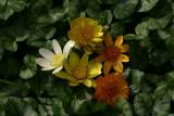 Ranunculus ficaria collection.jpg