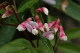 Lathyrus rosea.jpg