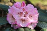 R. magnificum