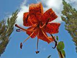 Lilium trigrinum