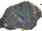 Inonotus obliquis1020863.jpg