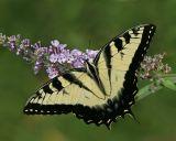 Tiger Swallowtail (2006)