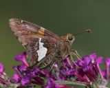 Silver Spotted Skipper (2006)