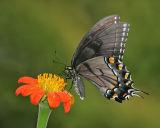 Tiger Swallowtail (dark form is always female)
