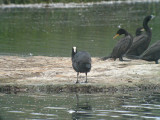 Andean Coot.