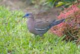 Pacific Dove