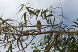 _MG_8459_Peruvian Pygmy Owl.jpg