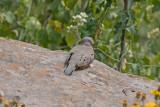 _MG_8466_Croaking Ground Dove.jpg