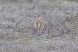 _MG_8499_Burrowing Owl.jpg