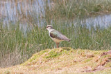 _MG_8570_Andean Lapwing.jpg