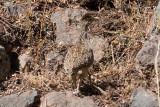 _MG_8594_Andean Tinamou.jpg