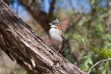 _MG_8612_Rufous-collared Sparrow.jpg