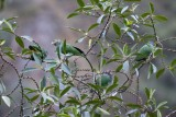 _MG_8897_Speckle-faced Parrots.jpg