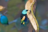 _MG_8930_Blue-necked Tanager.jpg