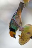 _MG_8997_Saffron-crowned Tanager.jpg