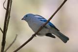 _MG_9007_Blue-gray Tanager.jpg