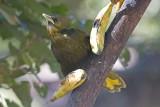 _MG_9419_Dusky-green Oropendola.jpg