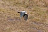 _MG_9620_Andean Ibis.jpg