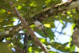 Gray-mantled Wren