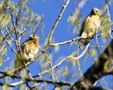 Male & Female Red Shoulder Hawks