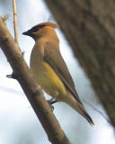 Waxey Wing