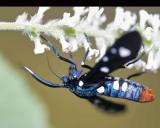 Syntomeida epilais (polka-dot wasp moth)