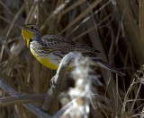 Western Meadowlark at Furnace Creek