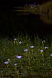Lillies 1