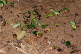 Leafcutter ants in the rainforest